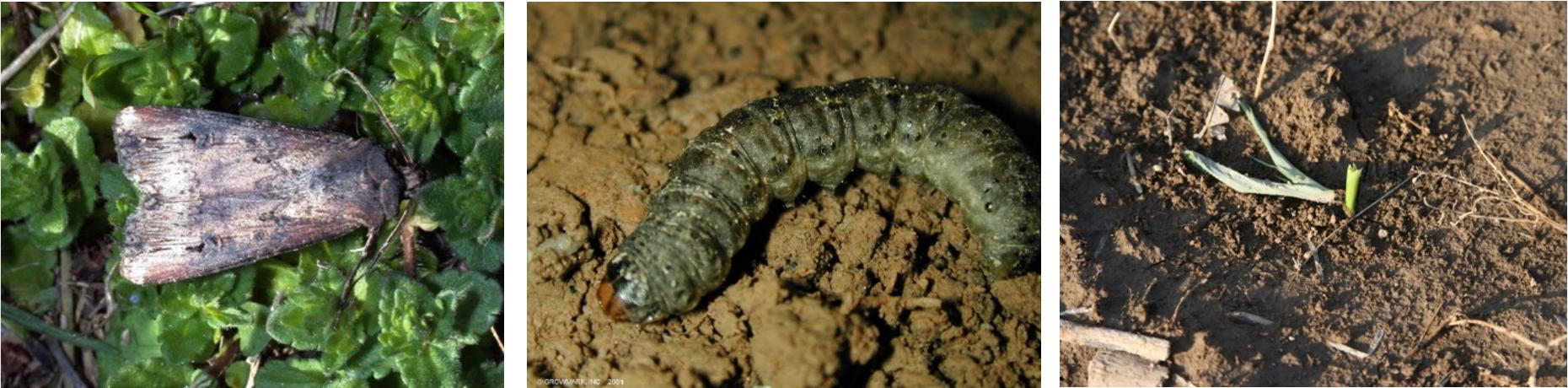 BlackCutwormAdult-Larvae_CornDamage.PNG
