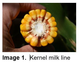 Late Reproductive Stages of Corn and Yield Estimation