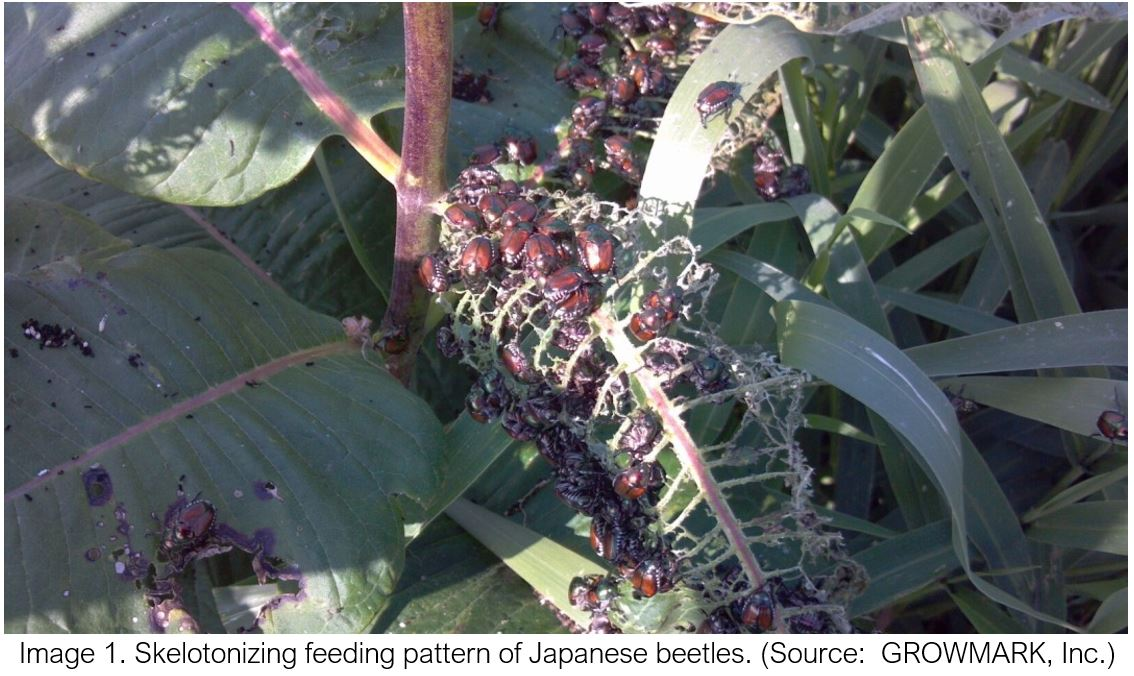 Japanese Beetles on Corn and Soybeans
