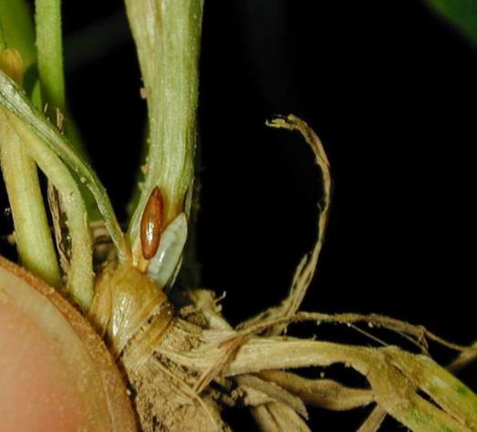 WheatPlanting_hessianflylarva-flaxseedpupa_2.jpg