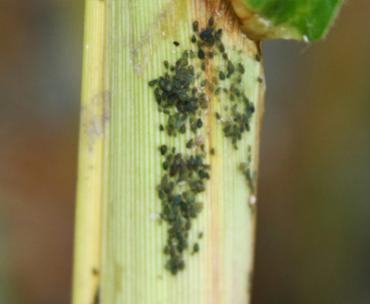 aphids2.jpg