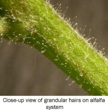 glandular-hairs.jpg