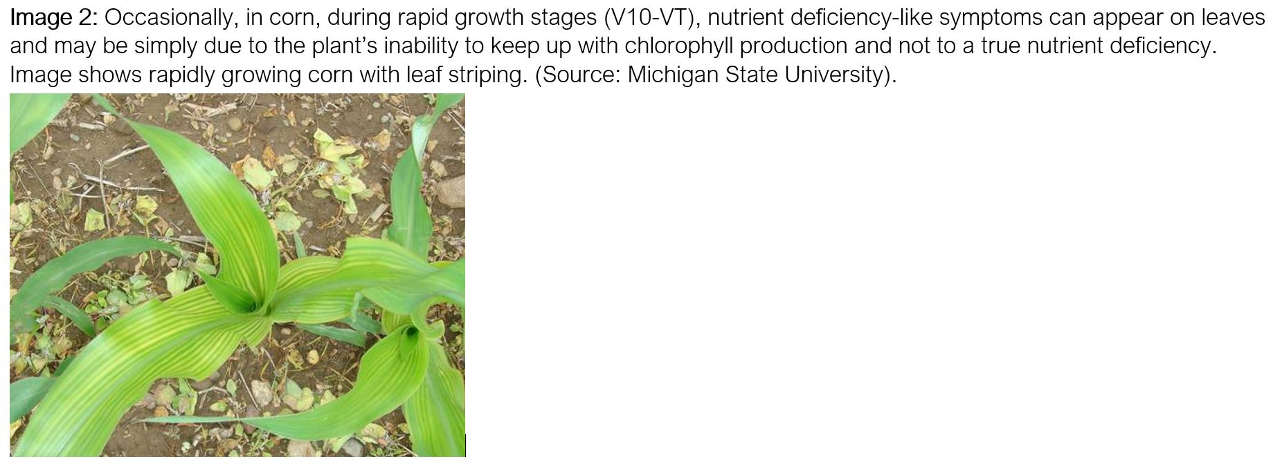 Rapid_corn_growth_leaf_striping_CAPTION-1.jpg