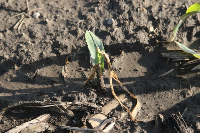 EFFECTS OF FROST & FREEZE CONDITIONS ON YOUNG CORN AND SOYBEANS