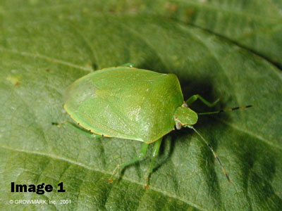 STINK BUG MANAGEMENT IN SOYBEANS