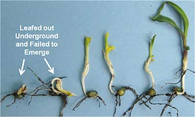 Early Planting Considerations for Corn