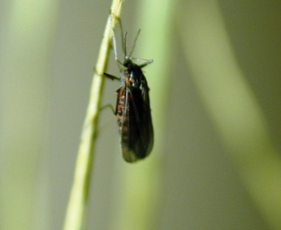 Wheat Planting Consideration for Insects and Diseases
