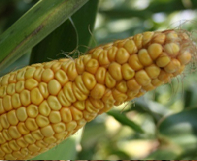 Corn Ear Malformations: A Briefing on the Possible Causes