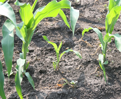 Making Corn Replant Decisions