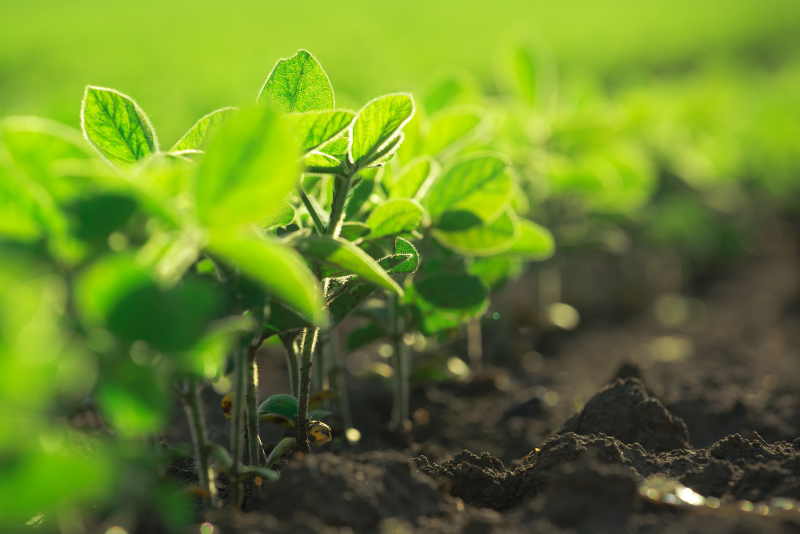 Early Planting Considerations for Soybeans