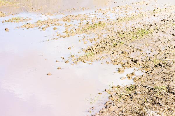 Nitrogen Fertilization in a Late, Wet Spring