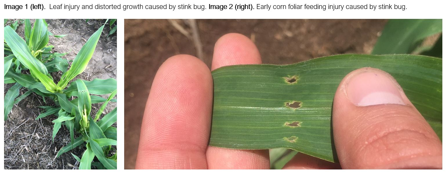 Stink Bug Corn Injury_CAPTIONS.JPG