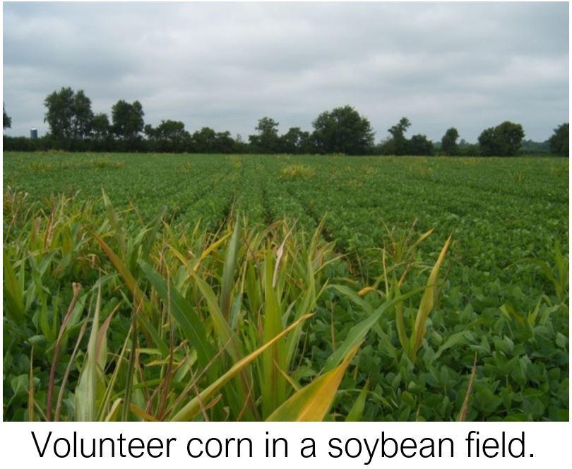 Volunteer Corn in Soybeans