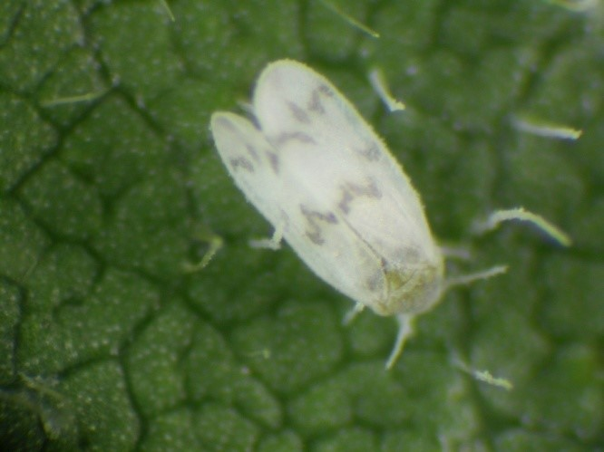 Whitefly_banded wing.jpg