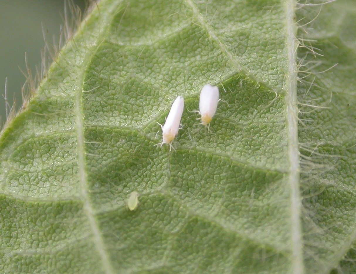 Whitefly_greenhouse adults.jpg
